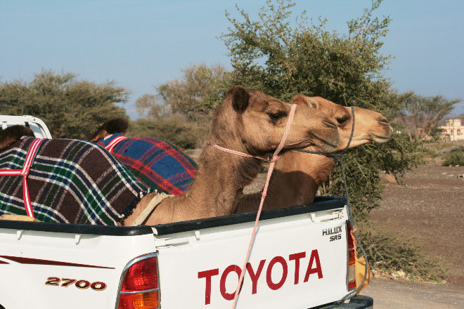 Auch Kamele lassen sich gern mal chauffieren