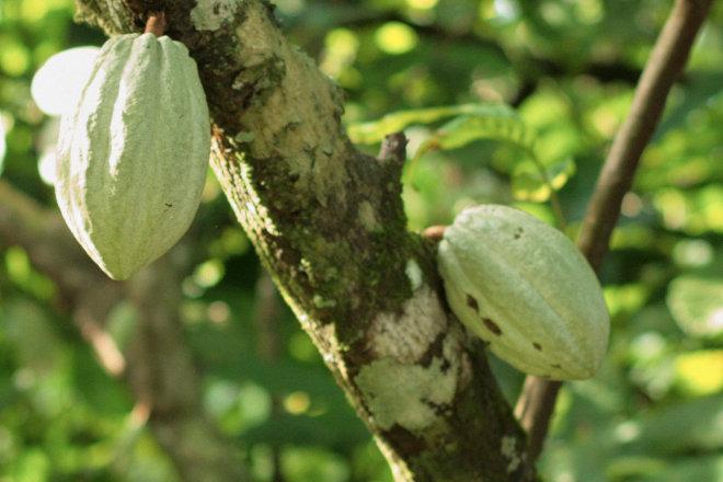 Die noch unreife Kakaofrucht